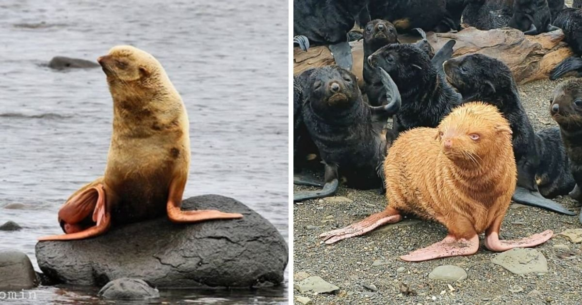 1 119.jpg?resize=1200,630 - Rare Golden Seal May Have To Be Re-homed After Being Rejected By Its Own Colony
