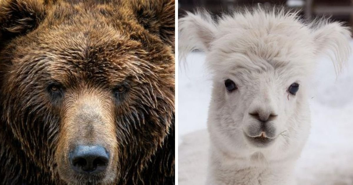 1 244.jpg?resize=1200,630 - Wild Bear Broke Into A Zoo And Killed A 16-Year-Old Alpaca