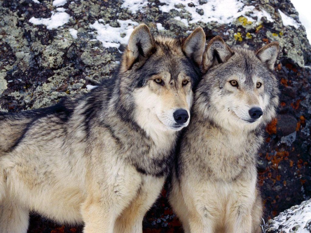 wolves in the wild