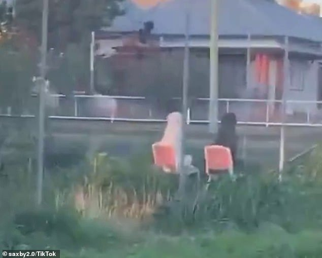 An Australian man was stunned when he spotted two dogs relaxing in lawn chairs (pictured) while he was on his way home from work on Monday