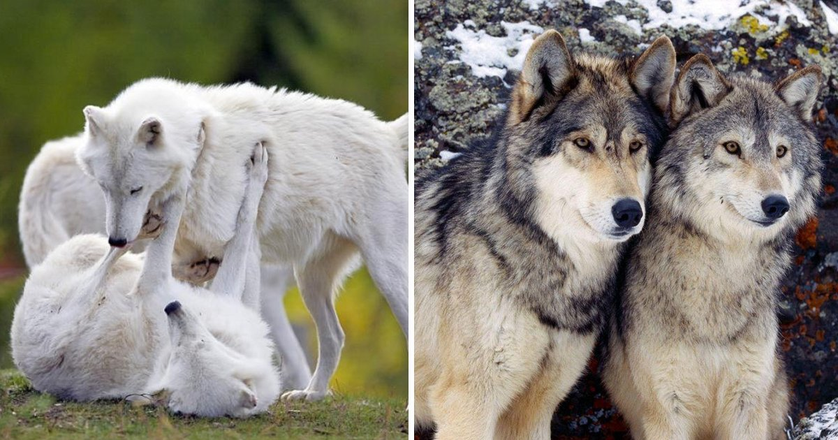adfasdfaa.jpg?resize=412,275 - The Pictures Of Wolves In Love Will Melt Your Heart