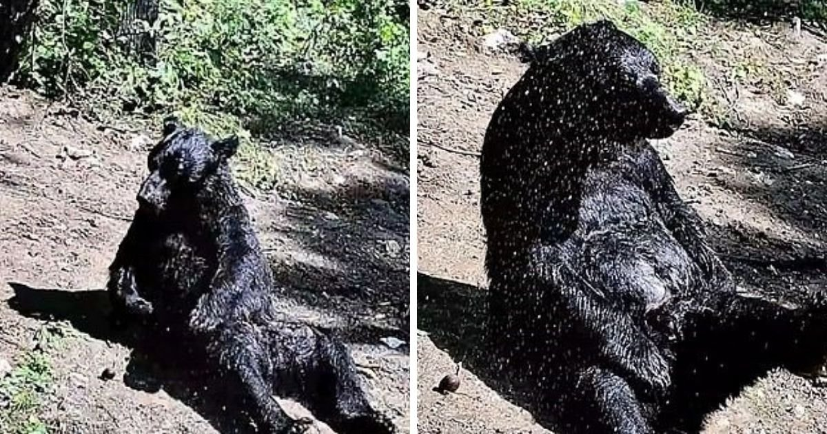 bear5.jpg?resize=1200,630 - Elderly Bear Who Was Rescued After 25 Years Of Captivity Now Spends His Days Taking Showers Under The Sun