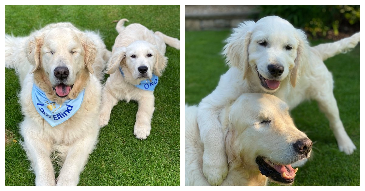collage 63.jpg?resize=412,275 - A Helper's Helper - Golden Retriever That Lost Its Vision Gets Its Own Guide Dog