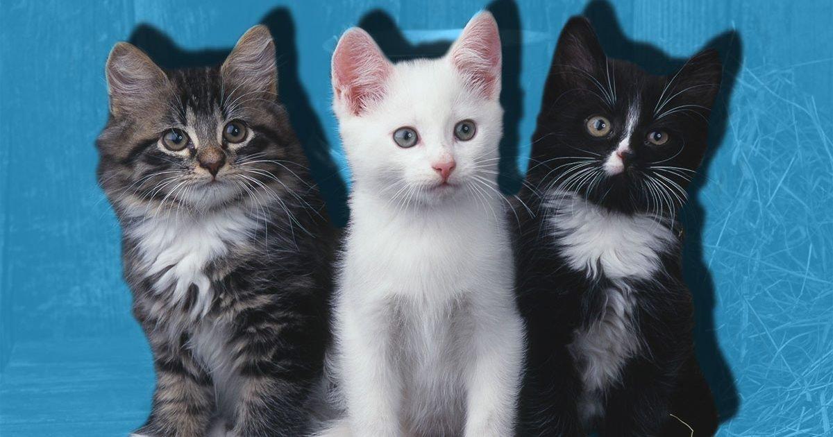 comp cats e1600208583414.jpg?resize=412,232 - La couleur du pelage de votre chat pourrait indiquer à quel point il est agressif