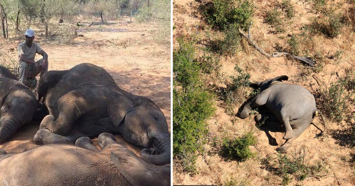 elephants.jpg?resize=1200,630 - Wildlife Tragedy Peaks As Zimbabwe Investigates Mysterious Death Of 11 Elephants