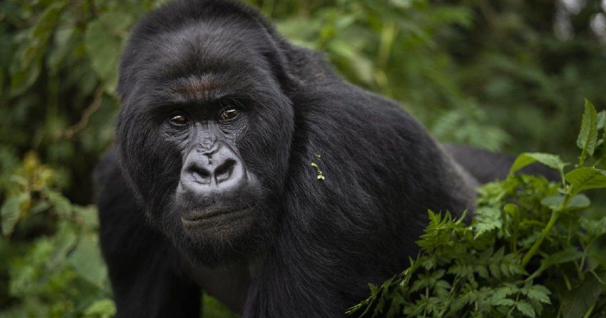 gorille.jpeg?resize=412,232 - Un gorille a attaqué la gardienne d'un zoo et lui a cassé les deux bras