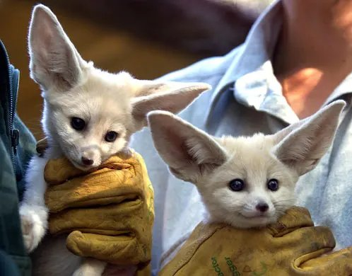 pygmy animals list