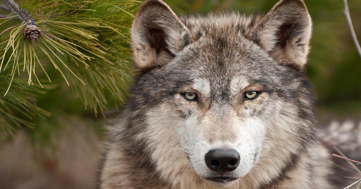 loup.jpg?resize=412,232 - Pyrénées: il y a bien un nouveau loup qui rôde dans les montagnes de l'Ariège