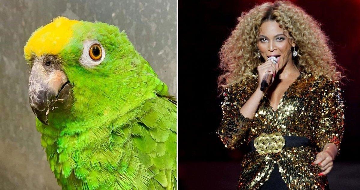 peroq.jpg?resize=1200,630 - Vidéo: découvrez Chico, ce perroquet qui chante du Beyoncé