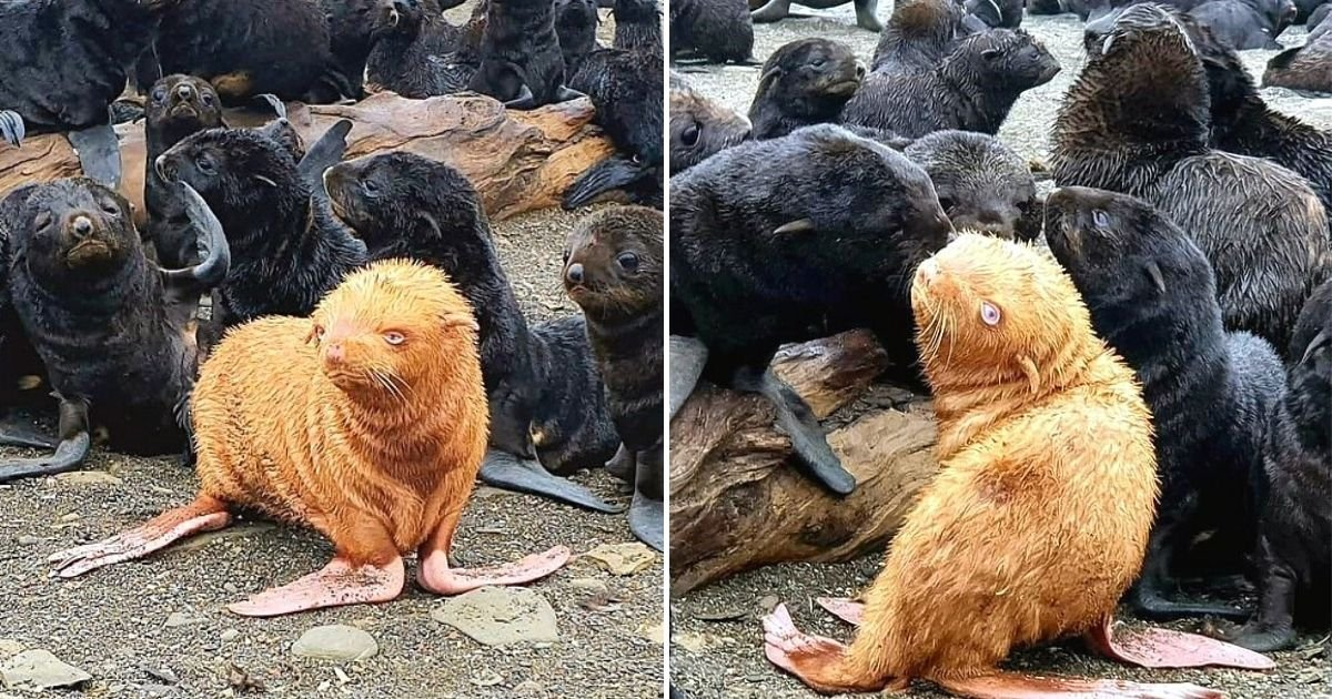 seal5.jpg?resize=1200,630 - Extremely Rare Ginger Fur Seal Pup Shunned By Its Fellow Seals