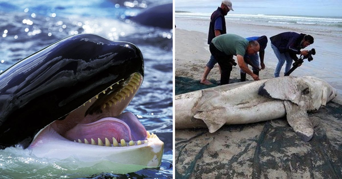 sharks.jpg?resize=1200,630 - Orcas Are Killing Great White Sharks In A 'Precise And Refined' Way To Eat Their Hearts