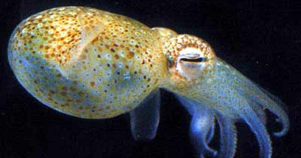 squids e1600995106530.jpg?resize=412,232 - Des calmars femelles peuvent créerl'illusion d'avoir des testicules