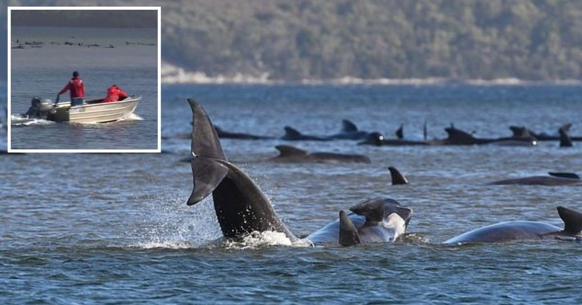 untitled design 29.jpg?resize=412,232 - Hundreds Of Whales Left Fighting For Life After Getting Stranded On A Sandbar