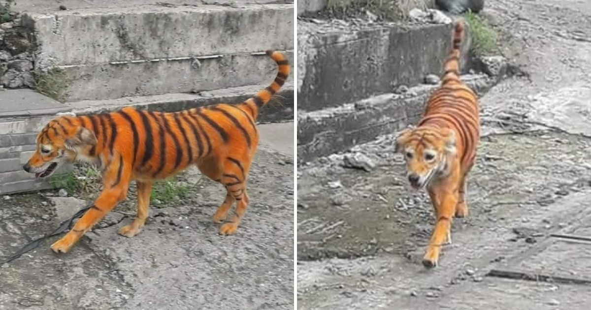 untitled design 3 5.jpg?resize=1200,630 - Outrage As Stray Dog Gets Painted To Resemble A Tiger