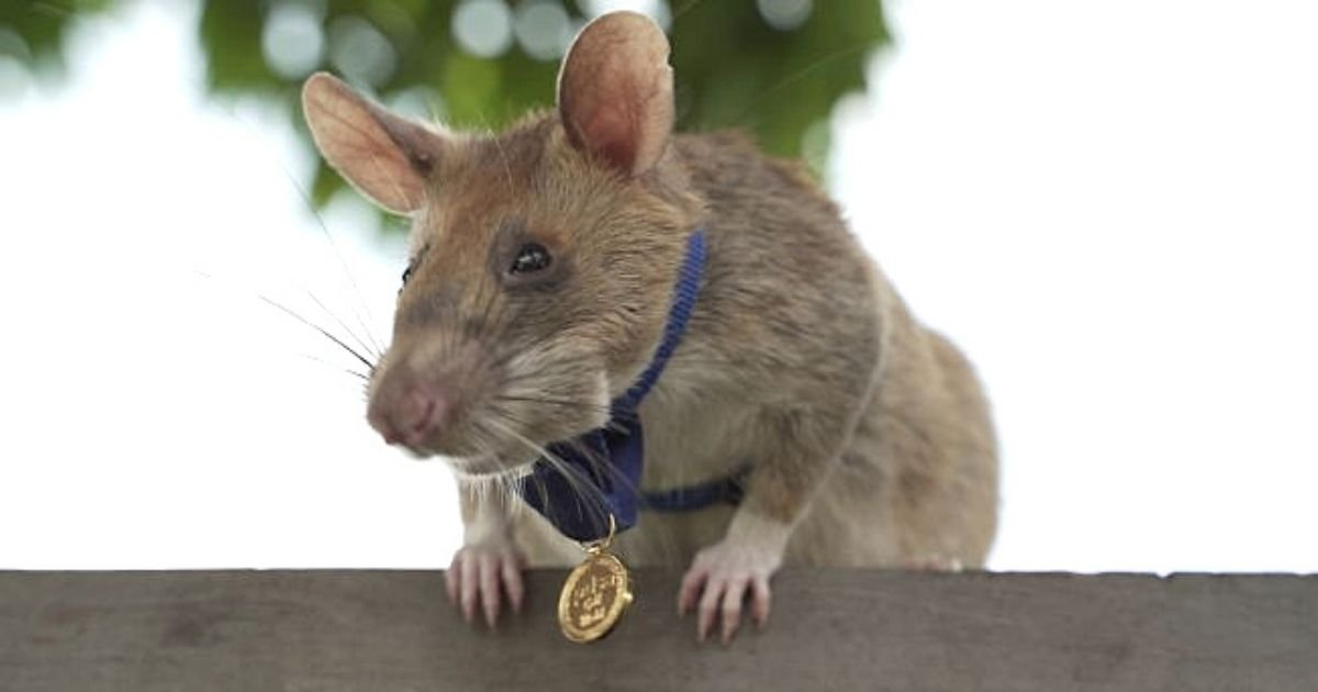 untitled design 6 10.jpg?resize=412,232 - Giant Rat Awarded A Medal For His 'Dedication, Skill And Bravery'