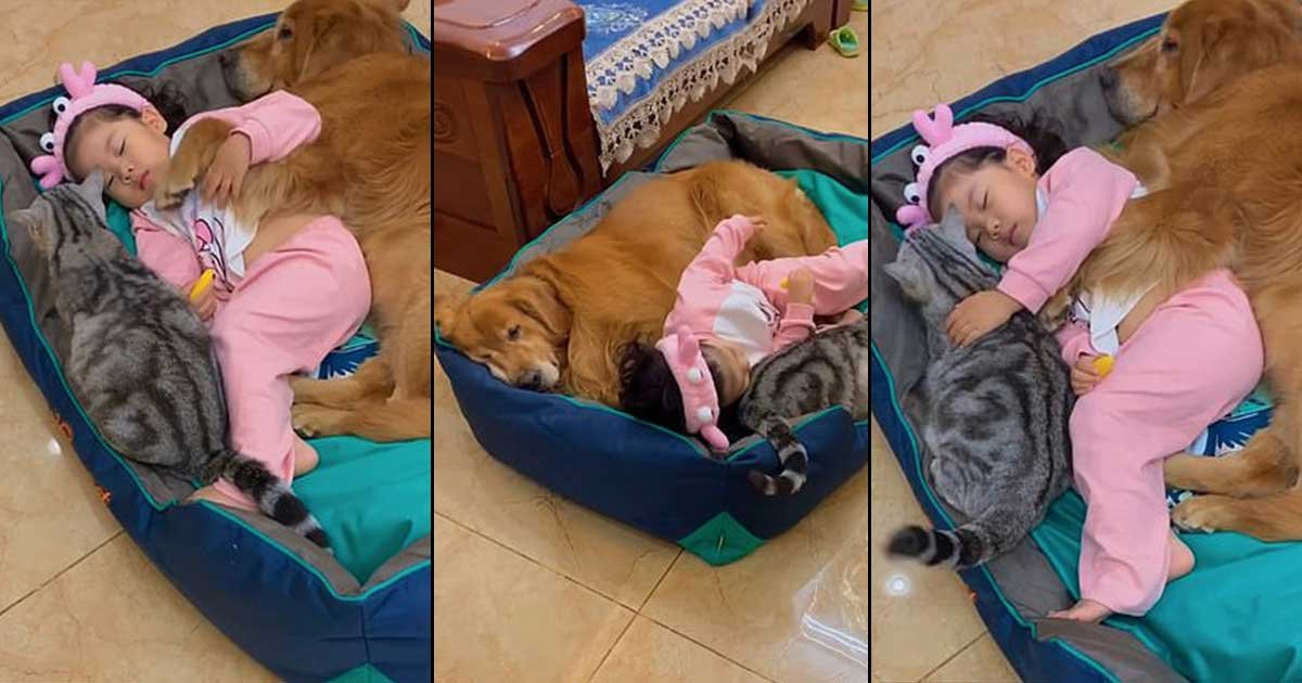 111.jpg?resize=412,232 - Adorable Little Girl Naps With Caring Dog And Protective Cat