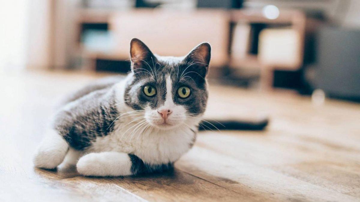 Existe la loca de los gatos? Esto es lo que dice la ciencia