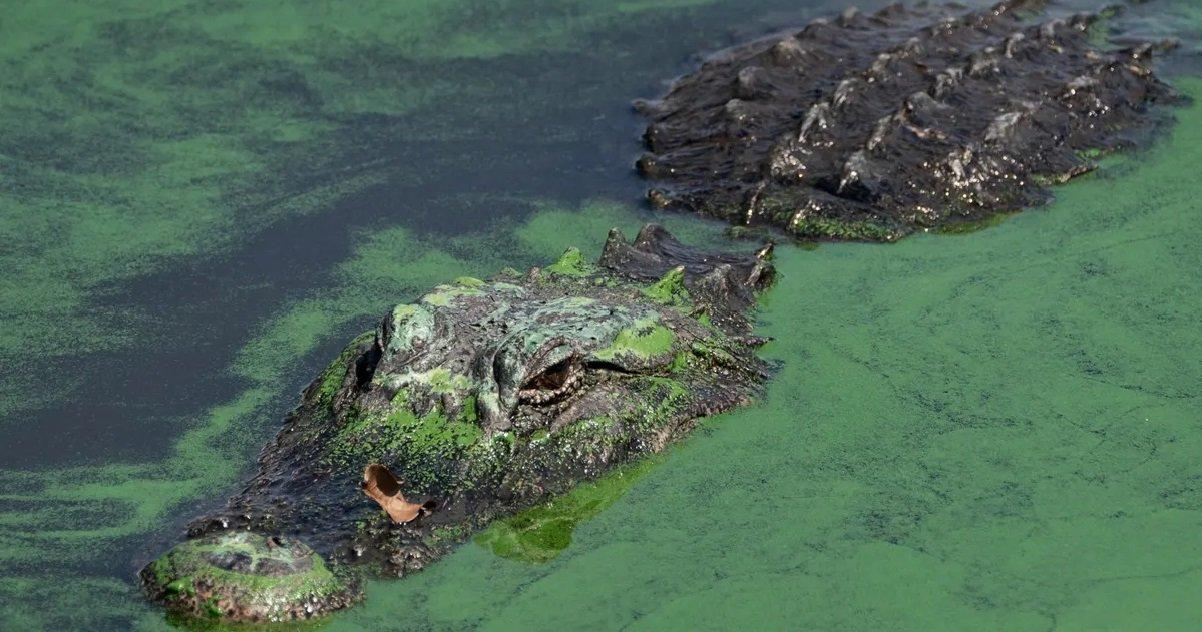 alligator.jpg?resize=1200,630 - Vienne: un pêcheur aurait aperçu un alligator dans une rivière