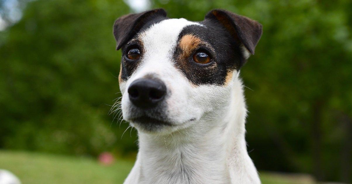 cleps2.jpg?resize=412,232 - La Baule: un couple a retrouvé leur chien, un petit Jack Russel, égorgé dans le jardin