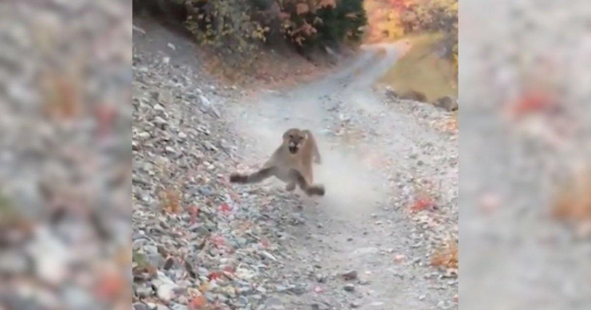 cougi.jpg?resize=1200,630 - Vidéo: un randonneur s'est retrouvé nez à nez avec un cougar pendant 6 longues minutes