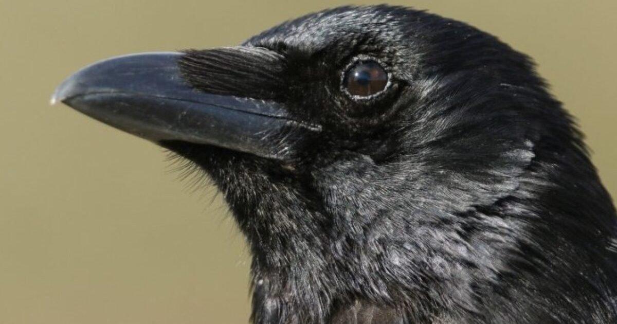 crows are capable of conscious thought scientists demonstrate for the 1280x720 e1601941505338.jpg?resize=412,232 - Les corbeaux seraient capables de penser de manière consciente