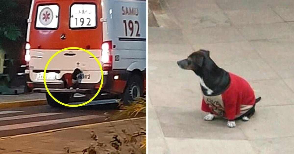 dog5.jpg?resize=1200,630 - Loyal Dog Hops On Ambulance To Follow Her Owner To Hospital After He Fell Ill