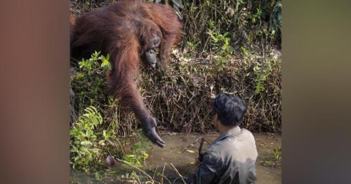 e18486e185aee1848ce185a6 38 1.jpg?resize=1200,630 - Orangutan In Borneo Lends A Helping Hand To The Man Stuck In Snake Infested Water