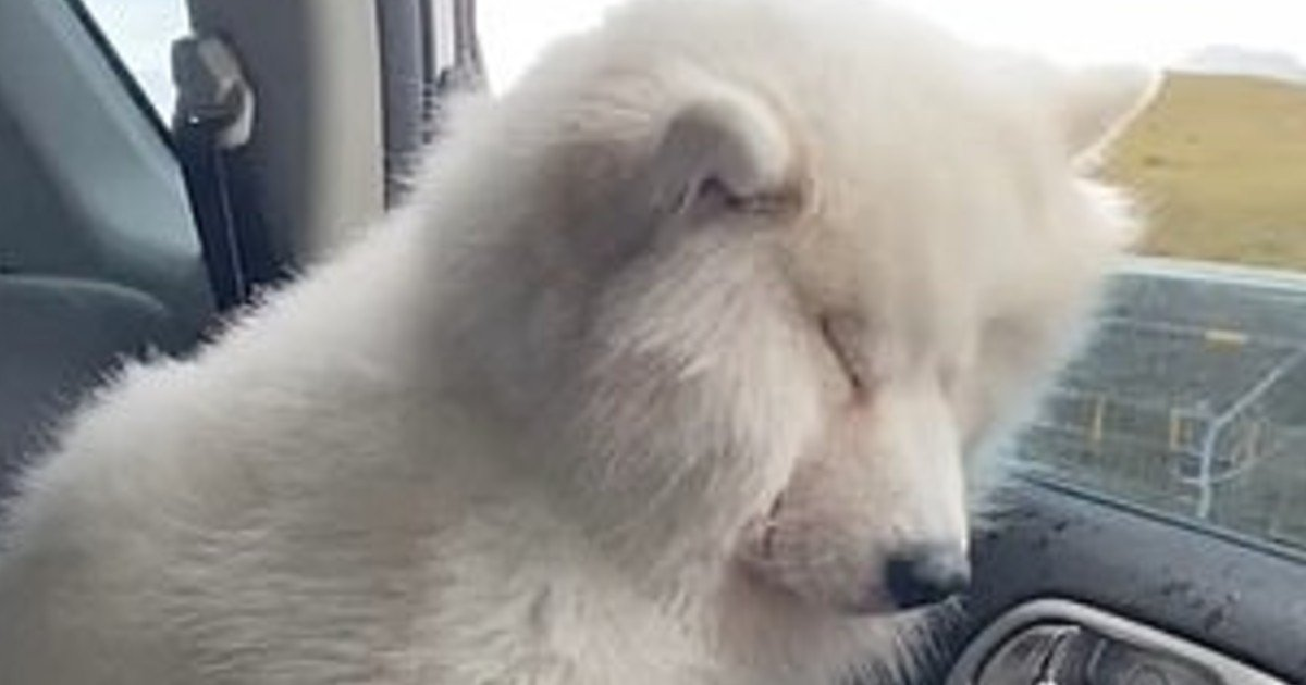 e18486e185aee1848ce185a6 42.jpg?resize=1200,630 - Cute Pup Alert: Adorably Exhausted Samoyed Falls Asleep While Standing