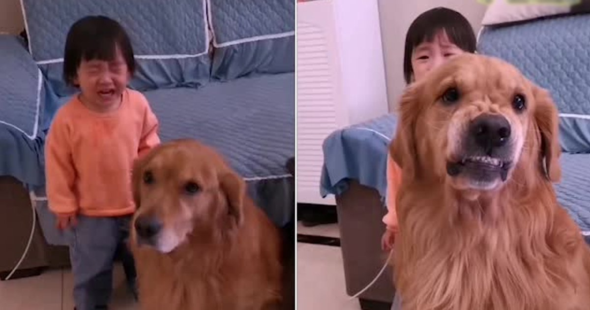 fada.jpg?resize=412,232 - Heart Melting Footage Shows Loyal Pet Dog Protecting Crying Girl From Mother's Scolds