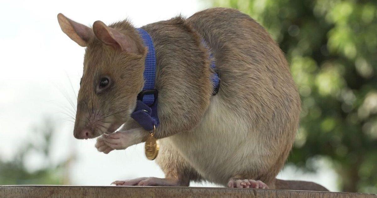 ff5y7opdozhkphqizexitpjyzm e1601598950746.jpg?resize=412,232 - Un rat détecteur de mines anti-personnelles reçoit une médaille d'or