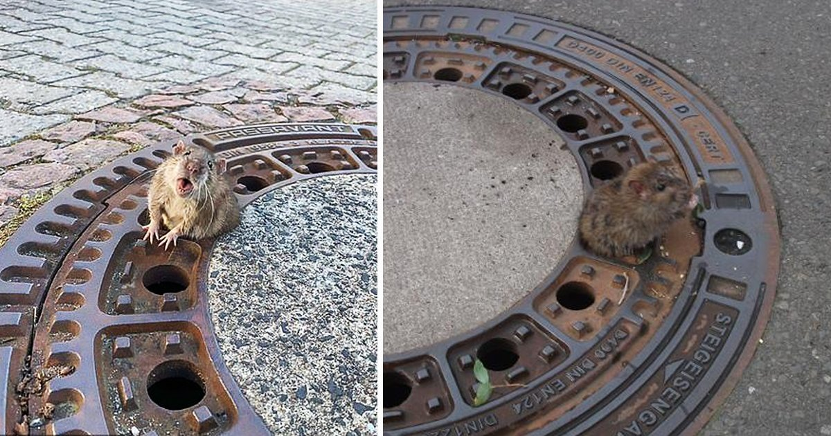 ffdfsdf.jpg?resize=1200,630 - Mighty Rodent Chomps Down Firefighter's Finger As Rescuer Frees It From Manhole