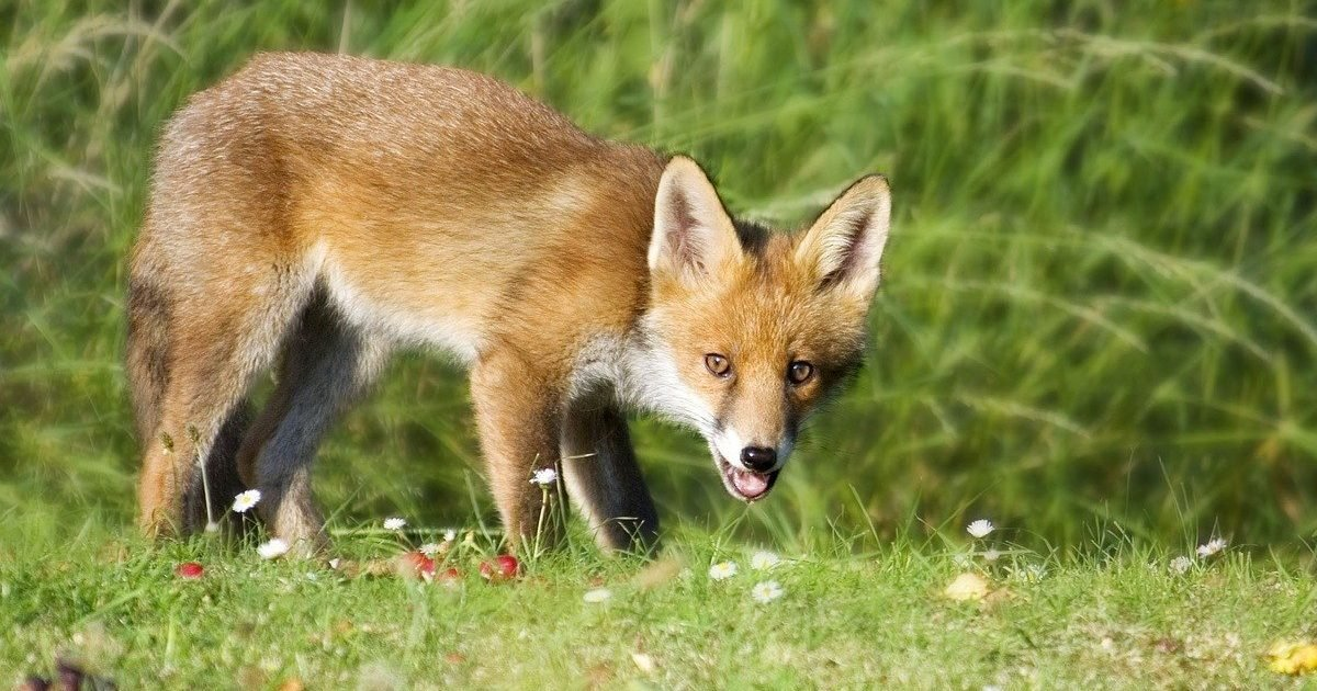 fox 1164951 1280 e1603475850365.jpg?resize=412,232 - Déterrage des renards: Une pratique infâme qui est encore autorisée en France