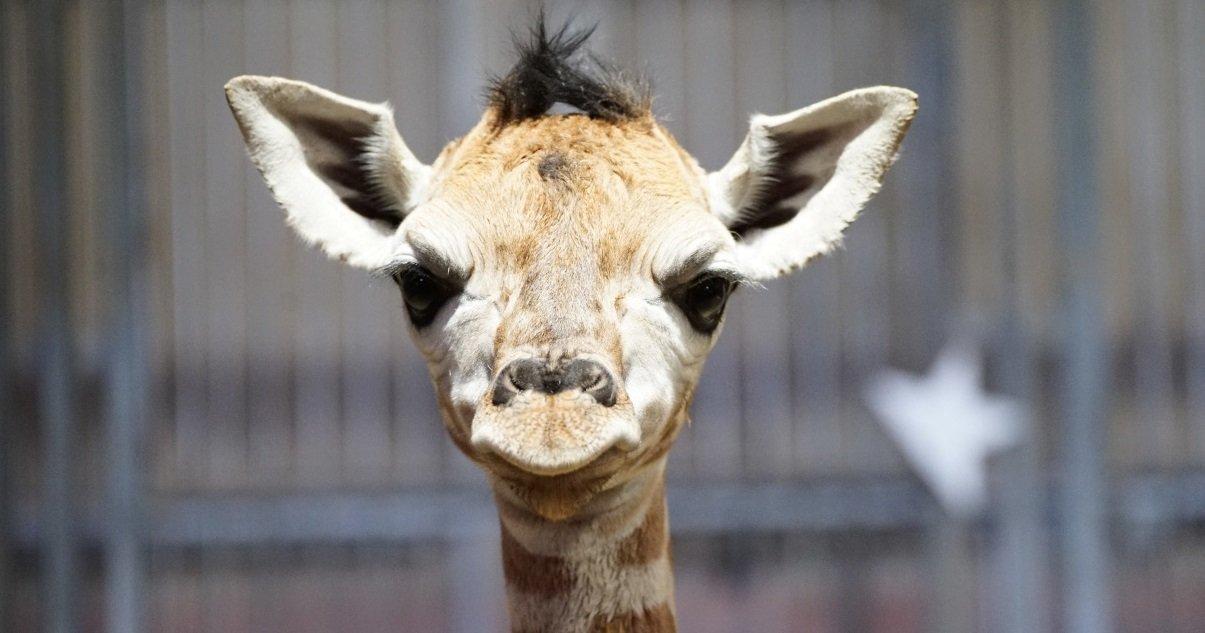 girafe.jpeg?resize=412,232 - Carnet Rose: un bébé girafe est né au zoo d'Amnéville