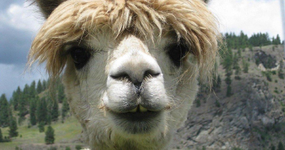 lama 1.jpg?resize=1200,630 - Un lama s'est fait éventrer par une meute chiens de chasse à courre