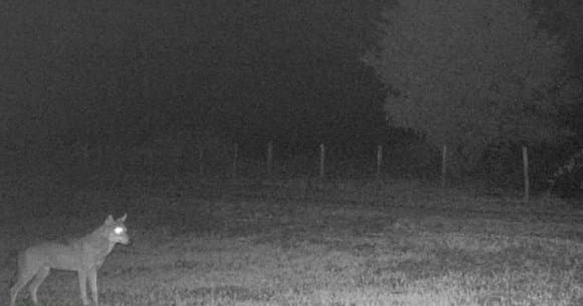 loup.jpg?resize=412,232 - Pour la première fois, un loup gris a été photographié en Haute-Marne