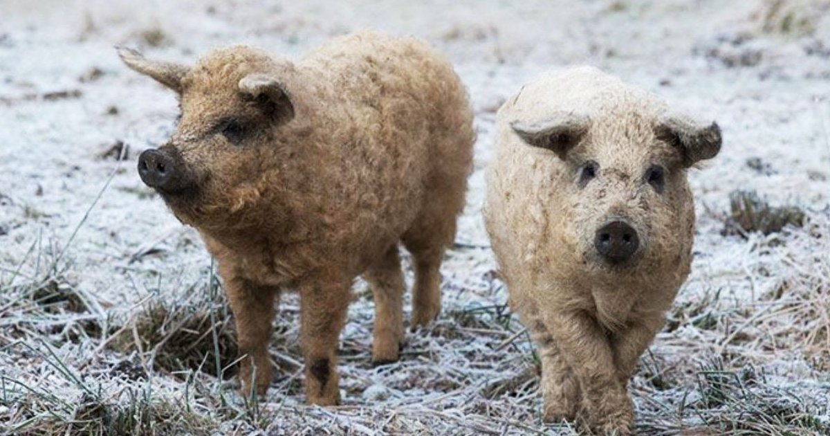 sdfsdfdsfsdf.jpg?resize=1200,630 - Meet The Adorable Furry Pig That Appears As A Sheep But Behaves As A Dog