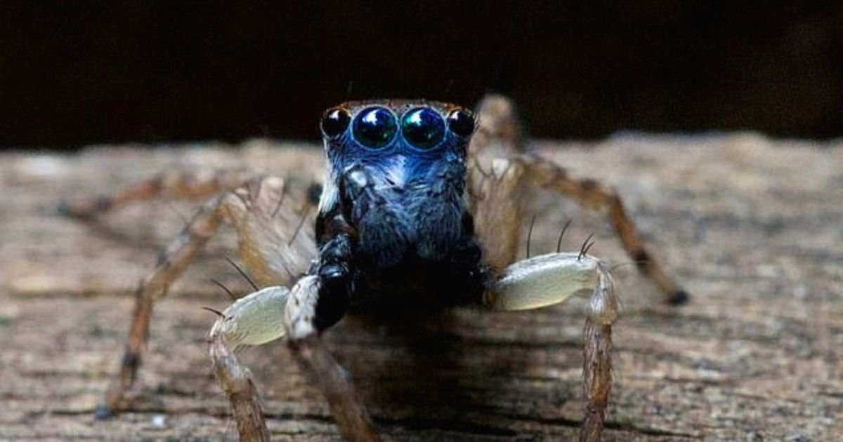 spider6.jpg?resize=412,232 - Woman Finds Spider With BLUE Face And Eight Eyes, Expert Confirms The Creature Is Unknown