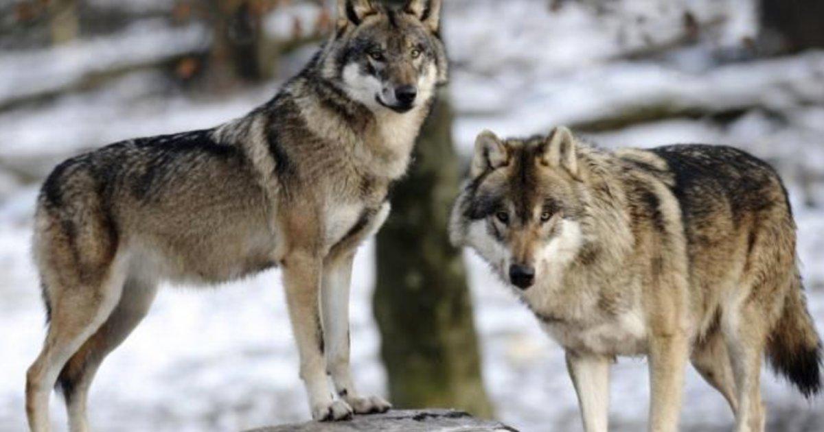 storm alex are the wolves in alpha park still alive e1601965832823.png?resize=412,232 - Tempête Alex : des loups en liberté après la destruction d'un parc