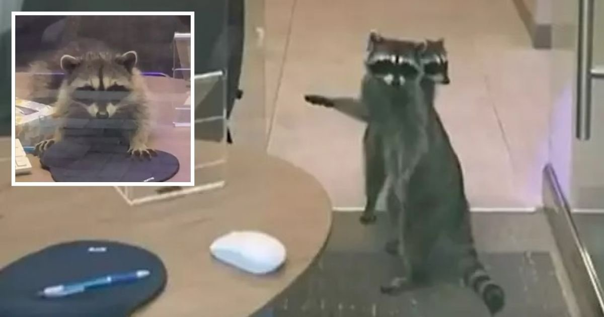 untitled design 2 21.jpg?resize=412,232 - Raccoons Break Into A Bank And Lead Authorities On A Chase