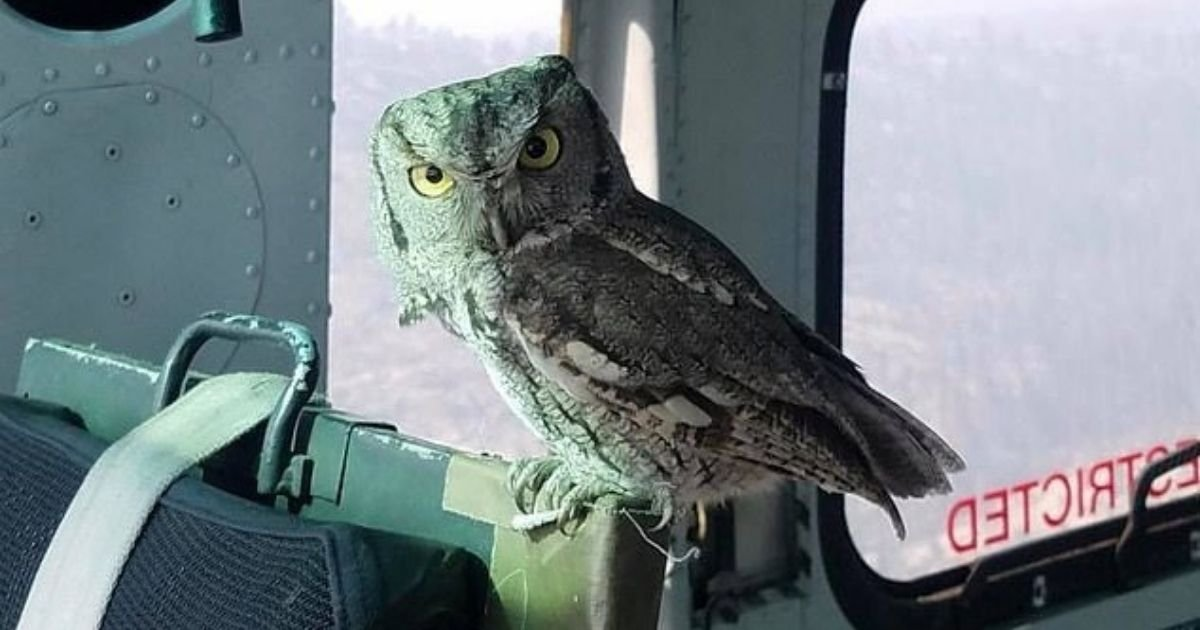 untitled design 4 10.jpg?resize=412,232 - Owl Swoops Into A Moving Helicopter To Escape The Danger