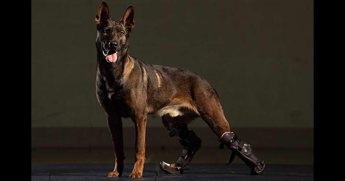 32515976 8675269 image a 9 1598644924049.jpg?resize=412,232 - Hero Military Dog Receives Victoria Cross