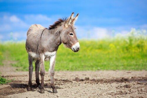 Diferencias entre asno, burro y mula - My Animals