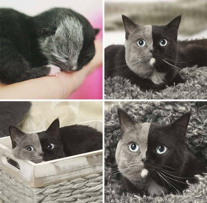 Meet Narnia, A Rare Two Faced Cat