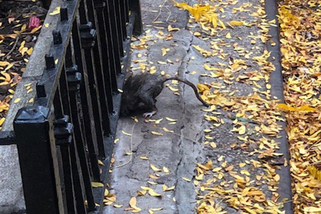 rats-03