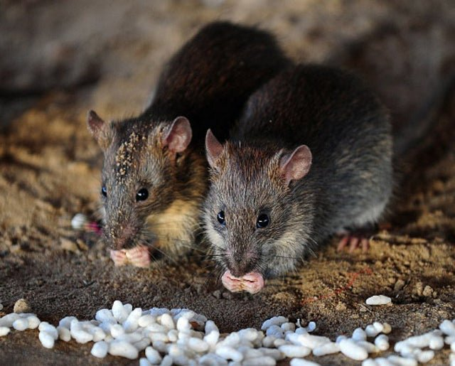 Newborn baby dies after being attacked by rats in hospital | The Independent | The Independent