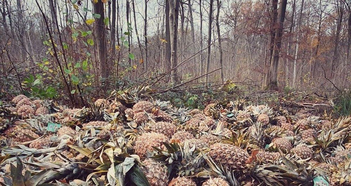 7 ananas.jpg?resize=412,232 - Nord: mais que faisaient ces centaines d'ananas en pleine forêt ?