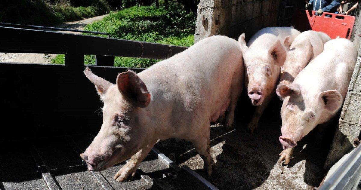 7 porc.jpg?resize=1200,630 - Bretagne: un cochon s'est évadé devant un abattoir pour échapper à la mort