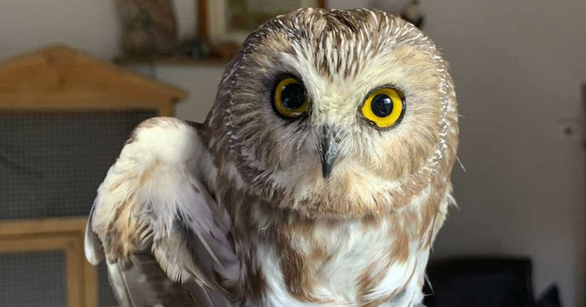 ap 5.jpg?resize=1200,630 - Tiny Owl Saved After Getting Stuck In The Rockefeller Christmas For 3 Days