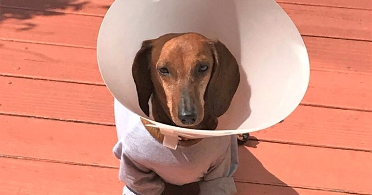 boobooo5.jpg?resize=1200,630 - Dog Almost Euthanized After Neglectful Owners Allowed Her Tumor To Grow To Size Of A Melon