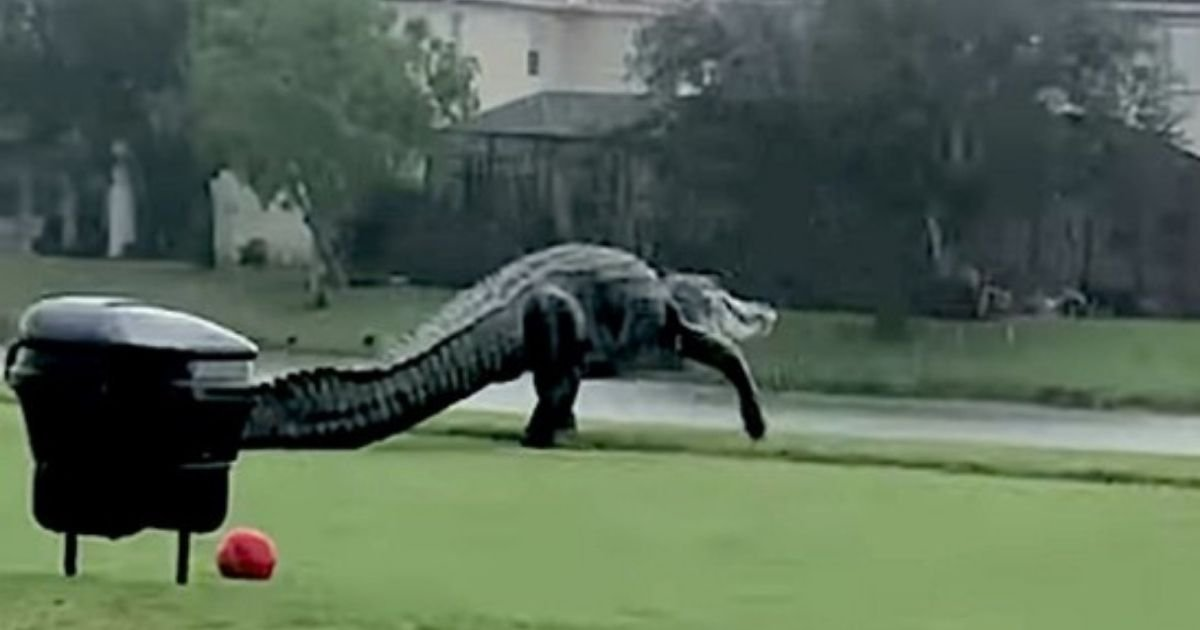 gator4.jpg?resize=1200,630 - Gigantic Alligator Strolls Across A Golf Course In Florida And Sends Internet Into Frenzy
